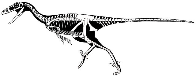 Skeletal restoration of T. inequalis. CC Scott Hartman[2] - Zanno LE, Varricchio DJ, O'Connor PM, Titus AL, Knell MJ (2011) A New Troodontid Theropod, Talos sampsoni gen. et sp. nov., from the Upper Cretaceous Western Interior Basin of North America. PLoS ONE 6(9): e24487. doi:10.1371/journal.pone.0024487